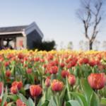 La Tulipomanía: ¿Cómo un tulipán llegó a costar lo mismo que una casa?